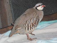 A chukar patient