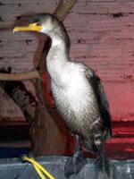 Cormorant patient