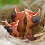 Altricial birds