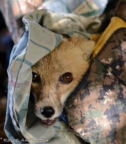 rachel-ames-fox