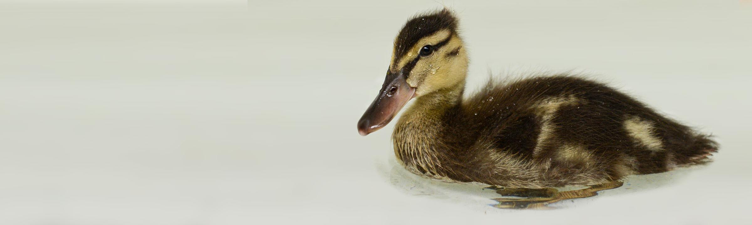 header_duckling