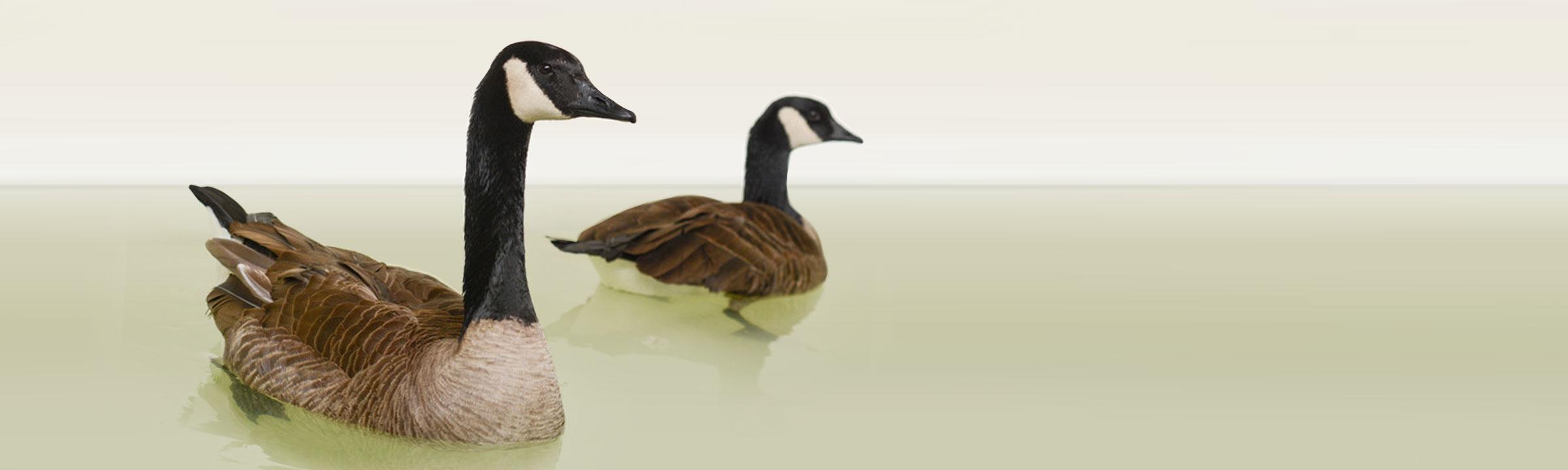 header_geese