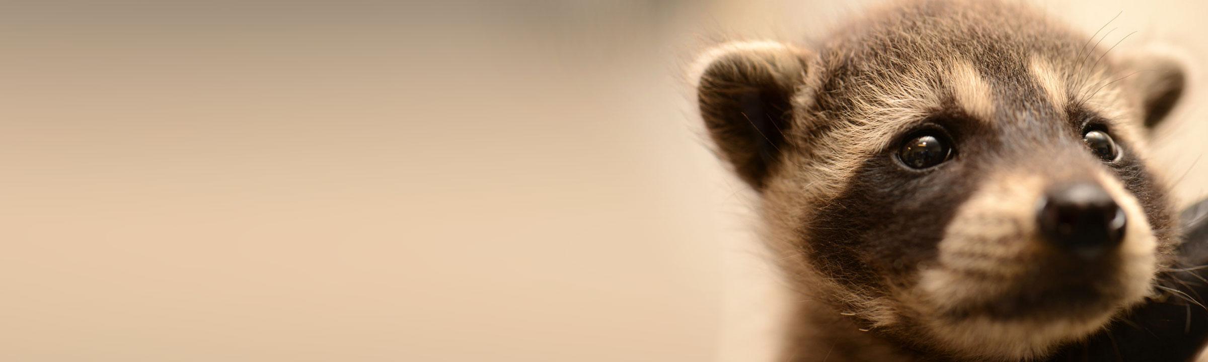 header_raccoon2